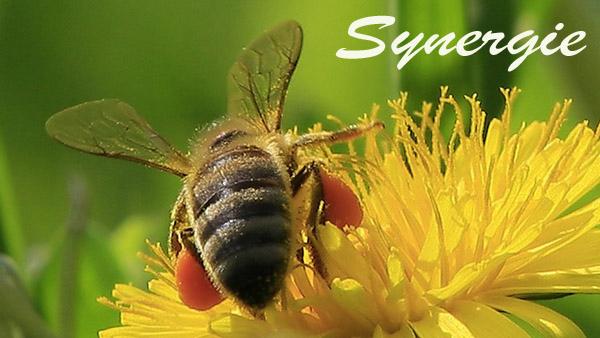 Biene Synergie.2